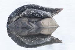 Harbour seal - Phoca vitulina - Landselur (*Jonina*) Tags: iceland ísland faskrudsfjordur fáskrúðsfjörður wildanimals villtdýr mammals spendýr harbourseal phocavitulina landselur reflection speglun jónínaguðrúnóskarsdóttir 25faves 1000views