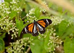 White Tiger ---- Danaus melanippus (creaturesnapper) Tags: thailand butterflies nymphalidae lepidoptera hatyai whitetiger danausmelanippus