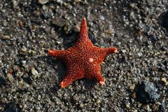Odontaster Validus (JeffAmantea) Tags: star fish starfish sealife sea life ocean beach sand antarctic antarctica tethis bay mario zucchelli station seastar walk hike explore outdoor outside sony alpha sonyalpha a7ii nikkor 50mm 14 metabones