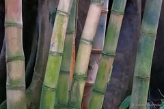 Bamboo Garden (Sockenhummel) Tags: fuji x30 fujifilm finepix bambus bamboo fujix30 gewächshaus greenhouse tropenhaus botanischergarten berlin