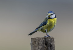 Blue Tit (Angela xx) Tags: grumpy