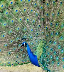 Peacock (Khmer Bleu) Tags: fujixt1 peacock twinlakes