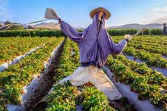 Scarecrow in Hoodie (Rod Heywood) Tags: scarecrow strawberries farm farms montereycounty croprows crops hoodie harvest agriculture salinas