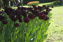 _DSC0757 (Riccardo Q.) Tags: parcosegurtàtulipani places parco altreparolechiave fiori tulipani segurtà