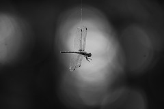Paid in full (Catch the dream) Tags: stilllife abstract dead death wings dragonfly hanging bangladesh demise chuadanga deaddragonfly