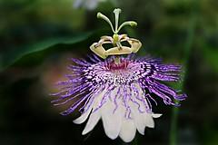 Passifloraceae : Passiflora incarnata - Purple Passionflower (Maypop, Ocoee, Wild apricot, Wild Passion Vine) flower (William Tanneberger) Tags: vine tropicalplants purplepassionflower vineflowers corneliacitypark habershamcoga passifloraincarnate wdtjune