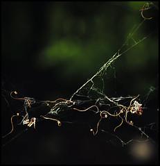 monkey trap (meezoid) Tags: uk nature leaves thames river reading monkey countryside cool bokeh web seeds foliage r uncool berkshire uncool2 uncool8 uncool3 uncool4 uncool5 uncool6 uncool7
