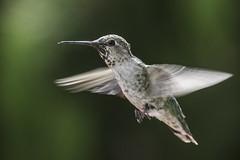 Anna's Hummingbird (Bob Gunderson) Tags: sanfrancisco california birds northerncalifornia hummingbirds missiondistrict annashummingbird calypteanna