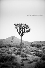 Joshua Tree National Park (BurgersPhotos) Tags: california trees blackandwhite panorama canon landscapes nationalpark joshuatree panoramic 1740mm joshuatreenationalpark llens leefilters 06nd canon5dmkiii
