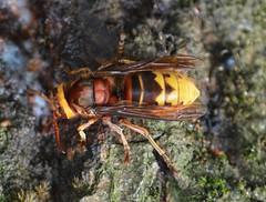 European hornet (Vespa crabro) (Hatto26) Tags: uk bird european wildlife norfolk reserve norwich hornet broad fen fenland rspb strumpshaw broadland
