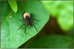 Wolfspin / wolf spider (Joop Rensema.) Tags: macro netherlands sony nederland elements groningen tamron wolfspider tamron90mm hoornsemeer tamronspaf90mmf28di wolfspin macrolife sonya230