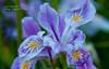 Purple Madness 2_edited-1 (Photos by Wesley Edward Clark) Tags: flowers oregon silverton wildiris scottsmills buttecreekfalls rhodylake
