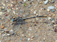 Lancet Clubtail, profile (Art and Nature-Mike Sherman) Tags: summer fauna insect photo dragonfly july odonata lancetclubtail gomphusexilis deerfieldpark commonclubtails isabellacountyparksandrecreation