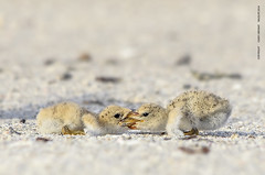 Shorebird Chicks Brawl (Flickrtographer) Tags: wild black bird nature birds raw wildlife feathers chicks seabirds nesting skimmer shorebirds shorebird hatchlings blackskimmer babybirds babyanimals beaktobeak surfbirds sigmaphoto sigma150500mm indianshoresfl nikond7000 skimmerchicks photocontesttnc11 cindybryantphotography photocontesttnc12 blackskimmercolony photoofthedaynwf12 cindyjbryant photocontesttnc13 billtobill shorebirdschicks siblingbrawl sigmausa