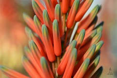 Clones (hartp) Tags: red plant flower macro green rot clones grün nahaufnahme hartp