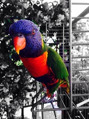 Speaking parrot (silviabonanno1234) Tags: family blackandwhite pet white black color cute bird animal happy flying nice friend colorful parrot iphone5 iphonegraphy