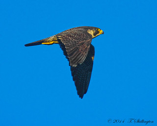 Another Peregrine shot
