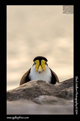Masked Lapwing 01 (Black Stallion Photography) Tags: newzealand portrait brown white black bird yellow closeup photography spur mask wildlife wing beak lapwing masked stallion plover igallopfree