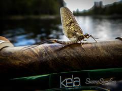 Rocken (SussiStridh) Tags: nature natur flyfishing flugfiske