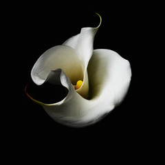 Calla Lily (Double Bloom)