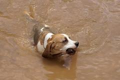 Mazers (greggys stuff) Tags: beagle mazers