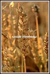 Corn Field (JAMES_TODD) Tags: summer nature field landscape corn cornfield farm crop fields pontefract utdoors