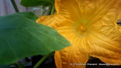 Yellow Pumpkin flower