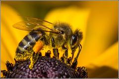 Honey Bee at work (Smudge 9000) Tags: macro bee honey 7d 2014