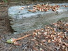 Squirrel midden (Lorianne DiSabato) Tags: ma backyard squirrel massachusetts newton waban midden gonetoseed dogpen sprucecone