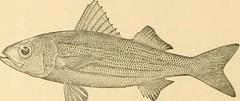 Anglų lietuvių žodynas. Žodis soft-finned fish reiškia soft-pelekais žuvis lietuviškai.
