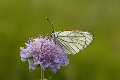 Digicam123212_ Aporia crataegi_Pieride del biancospino (vando.nardini) Tags: farfalla aporiacrataegi biancospino pieride aporia crataegi pieridedelbiancospino