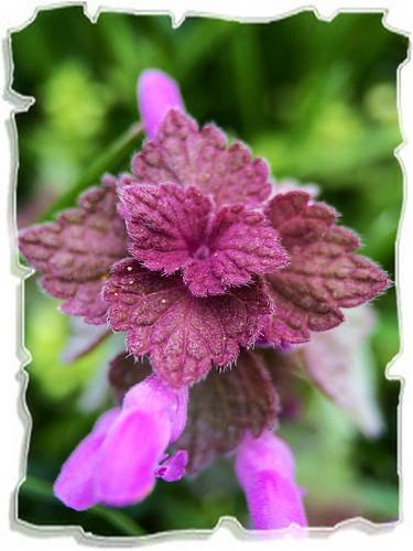 ~ Very small field flower ~