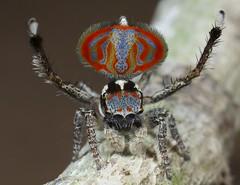 _X8A8415 peacock spider Maratus elephans (Jurgen Otto) Tags:
