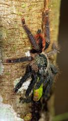 Species of tarantula? (Andyfrog321) Tags: peru andy expedition animals bug amazon baker wildlife bugs jungle arthropods smallcreature worldchallenge