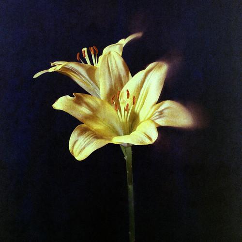 Lilium. Bronica-S2, Kodak EPT, Dia. (Andrey Maltsev) Tags: old color 120 6x6 film canon kodak dia 1999 slidefilm scan 120film scanned cala ept expiredfilm diafilm 75mm middleformat 8800 bronicas2 iso160 canon8800f yellowcala kodakept120