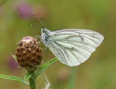 Green Veined White Butterfly (Chrissie28IWish! ~ hubby passed away 5th Dec peace) Tags: wild white flower green eye leaves butterfly insect wings stem legs bokeh lepidoptera bud antennae knapweed veined 2014b