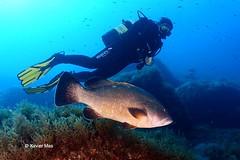 Mero (Xavier Mas Ferr) Tags: dive diving mallorca mediterrneo buceo baleares grouper mero epinephelus marginatus anfs