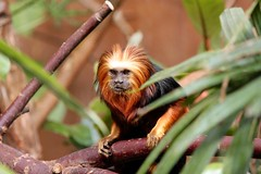 Golden-headed lion tamarin (jophan) Tags: monkey chesterzoo goldenheadedliontamarin