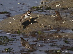 1.03558 Pluvier semipalm / Charadrius semipalmatus / Semipalmated Plover (Laval Roy - merci pour 1 950 000 + de visites) Tags: birds maine aves oiseaux envol charadriiformes charadriussemipalmatus semipalmatedplover tatsunis pluviersemipalm scolopacids lavalroy