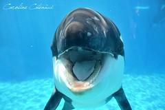 Hy Makani ! (Kataaku) Tags: baby up animal animals mammal nikon marine san underwater close marin diego killer whale animales orca seaworld animaux shamu viewing animalia orcinus orque mamifre ctac epaulard d5200 ctaca ctacans
