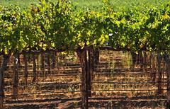 Napa Valley 2014 I 046 (Martini Mike / House of D'Arco) Tags: california ca usa photography photo vineyard vines nikon photographer places vineyards photograph grapes napavalley napa nocal winecountry grapevines darco martinimike napavalley2014i