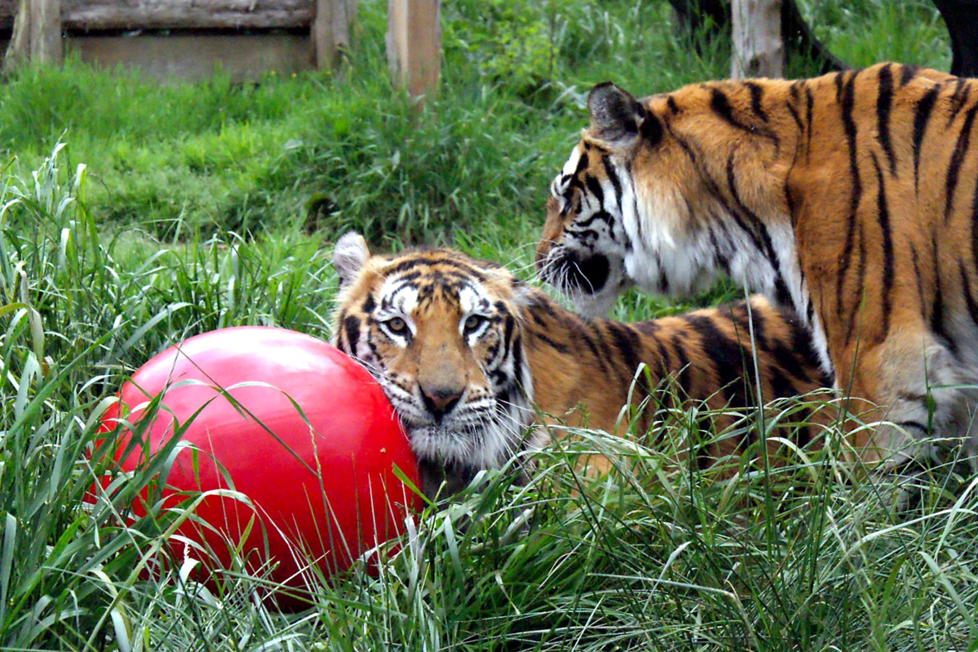Christian Tiger Carolina Tiger Rescue