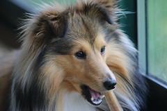 IMG_2553 (scoubi35) Tags: dog chien sheepdog shetland 70d
