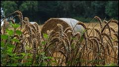 the crop... (bevscwelsh) Tags: field rain crop olympus1250 olympusem5