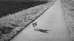 It's a long way there (andzwe) Tags: copyright dog netherlands dutch lumix alone song © perspective nederland hond panasonic doggie longroad drente drenthe perspectief gh4 langeweg andzwe itsalongwaythere panasonicdmcgh4