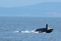 Rhapsody Splashdown (Hysazu) Tags: dolphins whales orca killerwhales blackfish salishsea wildwhales southernresidentkillerwhales islandadventures srkw nikond7100 nikon80400afs islandexplorer4
