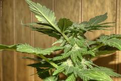 Evo (Hellscream #22) Tags: cannabis whitewidow cannabisindica