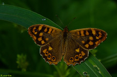 (loriagaon) Tags: naturaleza macro nature animals butterfly animales mariposa loria sonydscrx10 loriagaon