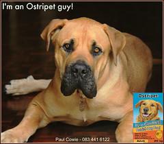 Ostripet Bruno (PaulO Classic. ) Tags: canon bruno boerboel adverts eos450d picmonkey
