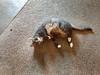 The Phoebster (Storm_Front) Tags: feline tabby kitty phoebe graytabby graycat tabbycat kissablekat